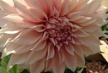 British Flowers / Celebrating beautifully grown British Flowers. Perfect for weddings, fabulously seasonally as well!