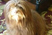 HavaHug Havanese Love / Puppies, Dogs, Fluff & Stuff!  / by Jessica C