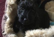 Dougal Dog / Dougal the Scottish Terrier