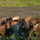 Horses in Iceland / Horses in Iceland, horse tours in Iceland, FACTS ABOUT ICELANDIC HORSE, HORSE RIDING TOURS