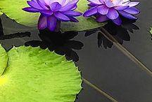 Lotus flower ❤