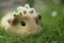All things Guinea Pig! / Because guinea piges are the most adorable things alive