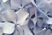 Hydrangea / by GentleDecisions