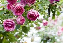 Roses / by Manuela Mora
