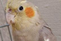 Calopsitas/ Pássaros
