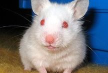 Hamster/Roedores