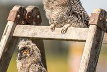 Owls & Falcons in Otterfing / Durch Zufall bekam Thomas Rychly die Gelegenheit in der Otterfinger Auffangstation für Greifvögel und Eulen zu fotografieren. Bei den Flugaufnahmen handelt es sich nicht um Schauflüge. Die genesenen Tiere trainieren für die selbstständige Jagd. Reha sozusagen. Abgebildet sind Waldkauz-Babys, Wanderfalken auf Jagd und eine weitere Falkenart im Tiefflug über einer Wiese.
