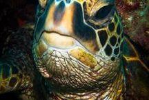 Reptilia(Testudines)