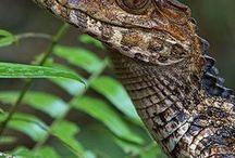 Reptilia(Crocodilia)