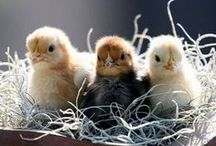 Keeping Chickens! / Everything Chickens!