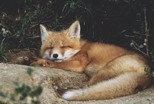 Fleet Foxes / by Susan O'Halloran