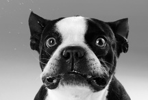Frenchies / My favorite dog breed, the French Bulldog.