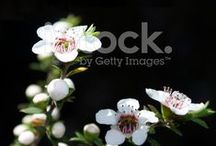 Tea Tree/ Manuka - Stock Photos Here / Long used for medicinal healing in Rongoā (traditional Māori medicine), Manuka is now used for its superior  antibacterial, antiviral, health & beauty properties... Stock Photos Here...