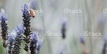 Lavender / Lavender for Natural Health... Stock photos here...