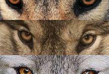 pour les fans de loups
