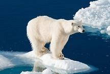 polar bears <3 / by Giulia H.