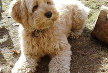 My doggo <3 / Can't wait to get my cockapoo puppa