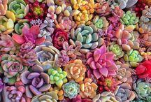 aes | succulents