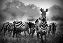 Safari. / African Safari.