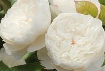 Flores blancas y rosadas. / by Janett Diaz