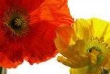 Flores rojas, amarillas y naranjas. / by Janett Diaz