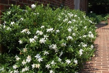 Cultivar Choices-Gardenias / Out of all the Gardenia cultivars, these are the choices that seem to be most available in to the trade in the Atlanta area