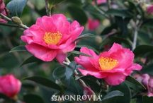 Cultivar Choices-Camellia / Out of the thousands of Camellia cultivars, these are the choices that seem to be most available in to the trade in the Atlanta area