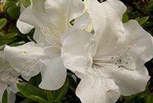 Cultivar Choices-Azaleas
