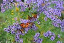 butterfly gardens / concepts and plants for metro Atlanta to attract and protect butterflies