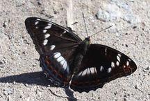 Perhoset / butterflies