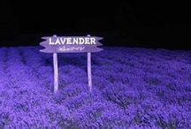 Lavender / by Nattaxa