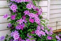 Clematis / Клематис