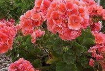 Geraniums / Герань / Пеларгония