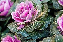 Winter Kale / Cabbage / Декоративная капуста