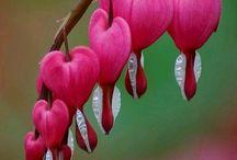 Дицентра / Bleeding hearts