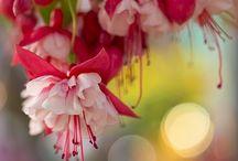 Fuchsia / Фуксия