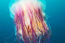 Quallen / jellyfish