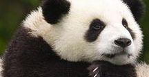 Pandik ʕ•ᴥ•ʔ / Pandák minden mennyiségben ʕ•ᴥ•ʔ
