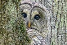 Wise Old Owl / I think owls are awesome! A wise old owl lived in an oak The more he saw the less he spoke The less he spoke the more he heard Why can't we all be like that wise old bird? / by Debbie Nania