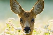 "Oh Deer / ""Nothing is so strong as gentleness, nothing so gentle as real strength."" ~Saint Francis de Sales"
