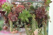"Succulent Succulents  / ""In all things of nature there is something of the marvelous."" ~Aristotle"