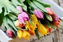 Tulip{Jardin d'eden} / Tulips inspire beautiful feminine energy , a very sexy flower, ~Your Dharma Angel JoGA