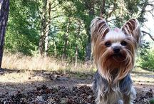 Doris / Yorkshireterrier dog