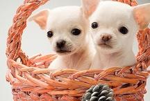 I <3 Chihuahua's