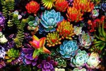 LOVE of Succulents/Cactus / by Norma Crain