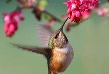 Csodálatos Kolibrik