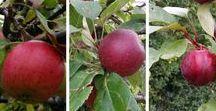 Opskrifter - Æbler / Inspiration til brug af æbler i mad, kager, desserter...