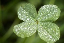 St Patrick's Day ~ / lucky four leaf clovers / by Bees Knees