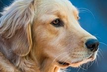 Furbaby is Golden ~ / Golden Retriever is known for his devoted and obedient nature as a family companion.  / by Bees Knees