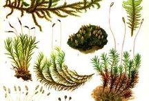 Bryophytes / Lichens